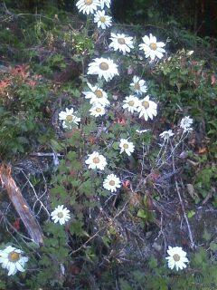 花あるき・2011 [305] リュウノウギク