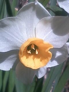 花あるき・2012 [1] ニホンスイセン
