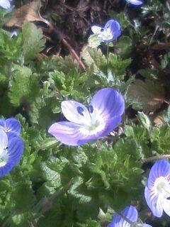 花あるき・2012 [3] オオイヌノフグリ