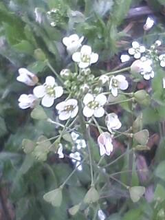 花あるき・2012 [4] ナズナ