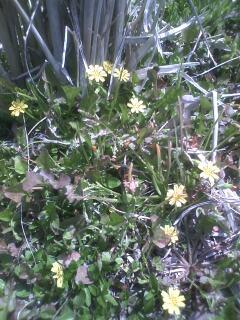 花あるき・2012 [8] コオニタビラコ