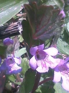 花あるき・2012 [12] カキドオシ