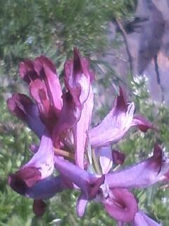 花あるき・2012 [13] ムラサキケマン