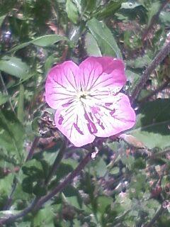 花あるき・2012 [15] アカバナユウゲショウ