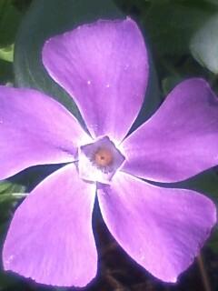 花あるき・2012 [18] ツルニチニチソウ