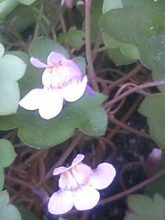 花あるき・2012 [20] ツタバウンラン