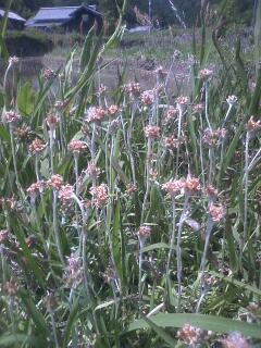 花あるき・2012 [21] チチコグサ