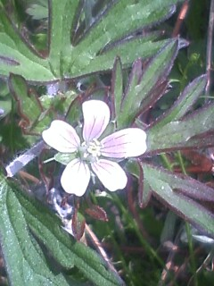 花あるき・2012 [22] アメリカフウロ