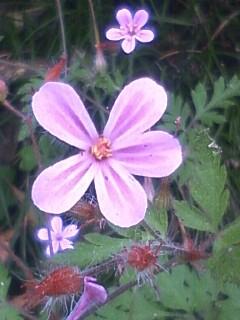 花あるき・2012 [23] ヒメフウロ