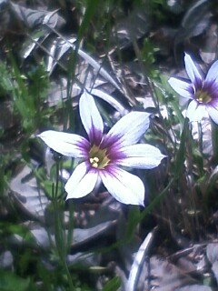 花あるき・2012 [24] ニワゼキショウ