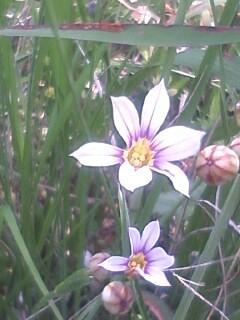 花あるき・2012 [25] オオニワゼキショウ