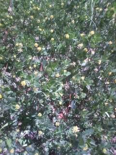 花あるき・2012 [33] コメツブツメクサ