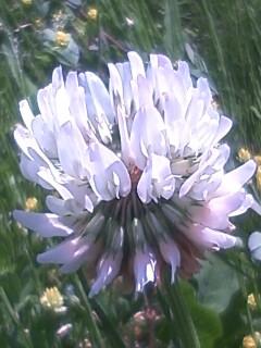花あるき・2012 [34] シロツメクサ