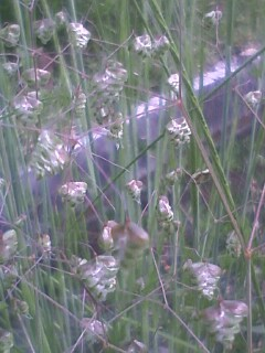 花あるき・2012 [41] ヒメコバンソウ