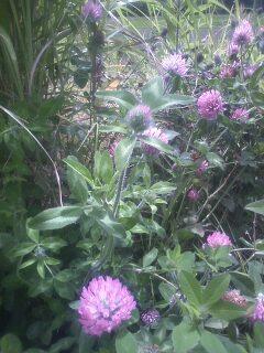 花あるき・2012 [43] ムラサキツメクサ