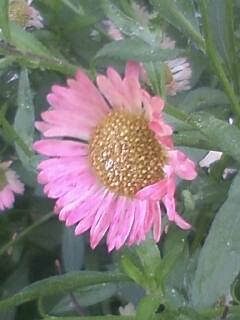 花あるき・2012 [46] ペラペラヨメナ