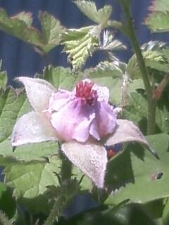 花あるき・2012 [48] ナワシロイチゴ