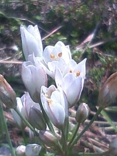 花あるき・2012 [49] ハタケニラ
