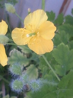 花あるき・2012 [51] クサノオウ