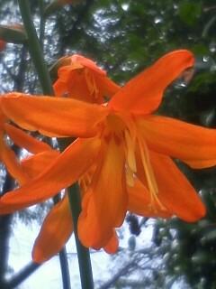 花あるき・2012 [53] ヒメヒオウギズイセン