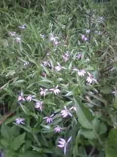 花あるき・2012 [54] ミゾカクシ