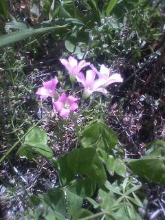 花あるき・2012 [57] ムラサキカタバミ
