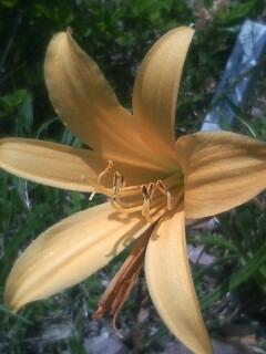 花あるき・2012 [59] ニッコウキスゲ