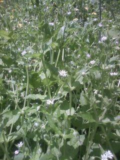 花あるき・2012 [60] ウシハコベ