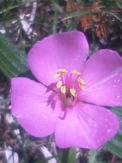 花あるき・2012 [61] ヒメノボタン
