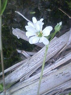 花あるき・2012 [62] ノミノフスマ