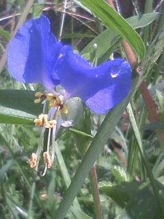 花あるき・2012 [63] ツユクサ