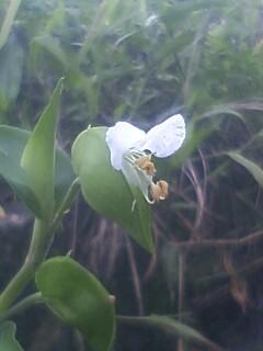 花あるき・2012 [63]のおまけ ツユクサ