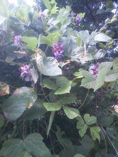 花あるき・2012 [66] クズ