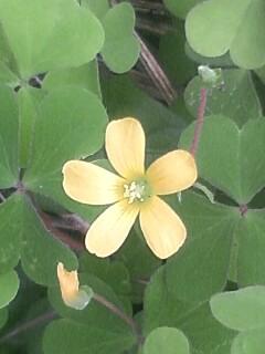 花あるき・2012 [67] カタバミ