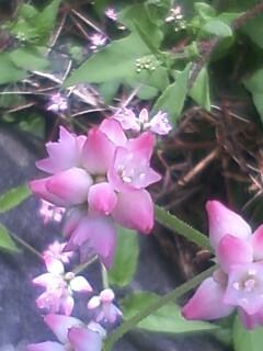 花あるき・2012 [68] ママコノシリヌグイ
