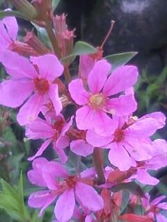 花あるき・2012 [69] ミソハギ