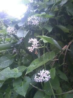 花あるき・2012 [72] ガガイモ