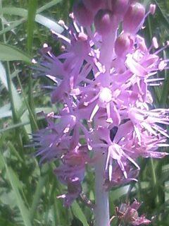 花あるき・2012 [73] ツルボ