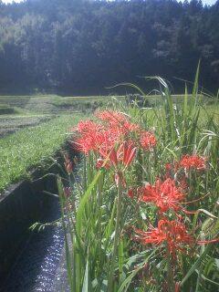 花あるき・2012 [76] ヒガンバナ