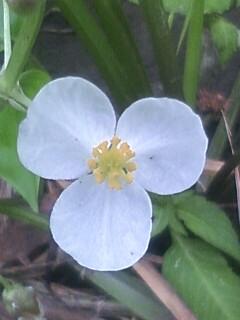 花あるき・2012 [78] オモダカ
