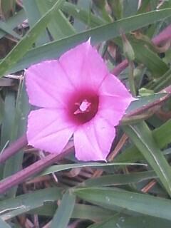 花あるき・2012 [80] ホシアサガオ