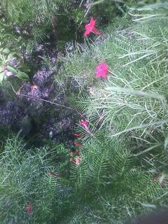 花あるき・2012 [81] ルコウソウ