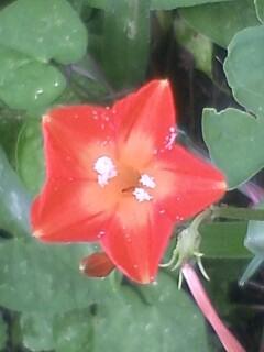 花あるき・2012 [72] マルバルコウソウ