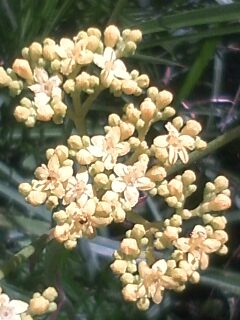 花あるき・2012 [84] オミナエシ