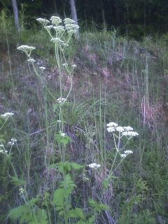 花あるき・2012 [85] オトコエシ