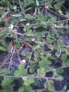 花あるき・2012 [86] ネコハギ