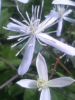 花あるき・2012 [87] センニンソウ