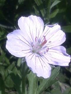 花あるき・2012 [88] ゲンノショウコ