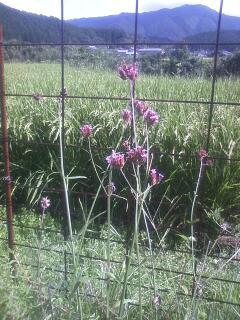花あるき・2012 [92] ヤナギハナガサ