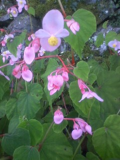 花あるき・2012 [93]のおまけ シュウカイドウ